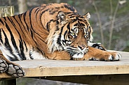 Sumatran Tiger Lying Down Close Up