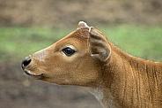 Banteng (Bos javanicus) Calf