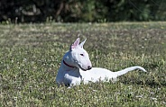White miniature bull terrier at the park posing
