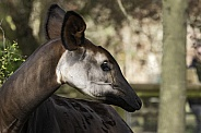 Okapi Head Shot Side Profile