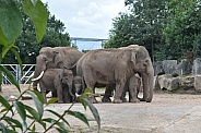 Asian Elephant herd