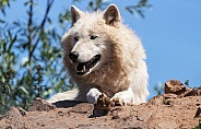Arctic Wolf Close Up