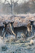 Deer on a frosty day