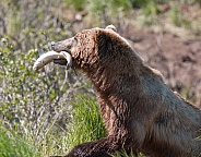 Wild Alaskan brown bear with salmon