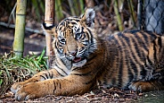 Tiger cub resting at the wild animal park