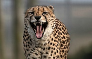 Cheetah Showing Teeth Towards Camera