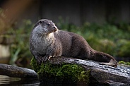 old world otter