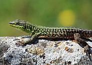 Podarcis sicula (Italian wall lizard)