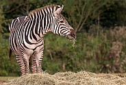 Grants Zebra Standing Eating