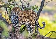 Leopard (wild)