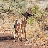 Red Hartebeest Calf