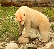 White Kermode Spirit Bear