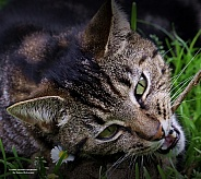 Domestic cat mowi