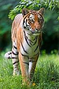 Amur Tiger. Female