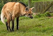 Maned Wolf Standing Full Body