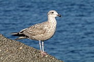 Seagull (Laridae)