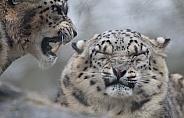 Snow Leopard (Panthera uncia)