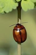 Leaf beetle.