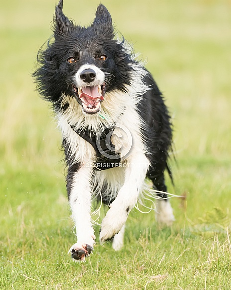 Border Collie at the Run