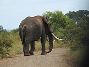 African Elephant with big tusks