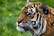 Amur Tiger Close Up Face Shot