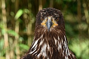 Young American Sea Eagle