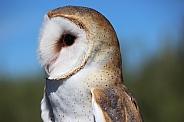 Barn Owl Close-up