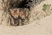 Pair of Young Fox Kits