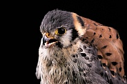 American Kestrel Close Up Beak Open Black Background