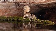 western grey squirrel, Sciurus griseus