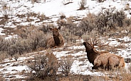 Wild bull elk laying down near cow