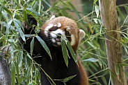 Red Panda chewing on a leaf