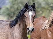 Young Arabian horse looking at the camera