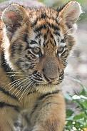 Amur Tiger Cubs