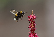 White tailed Bumblebee