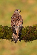 Kestrel Female