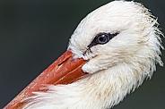 Stork Close Up