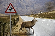 Red Deer Stag near a road sign - Scotland