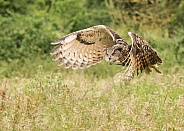 European Eagle Owl in Flight