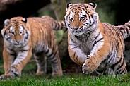 Running Amur Tiger