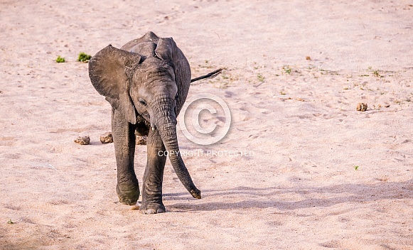 African Elephant Calf (wild)