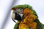 Hybrid Macaw Close Up