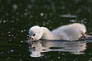 Swan Cygnet