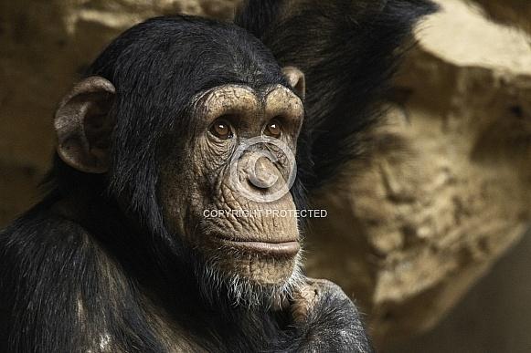 Young Chimpanzee Close Up Face Shot