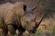 White Rhino (wild)