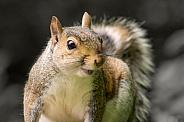 Grey Squirrel - Curiosity