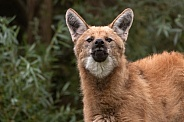 Maned Wolf Howling Towards Camera