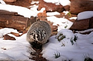 North American Badger in Snow