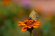 Juniper Hairstreak Butterfly