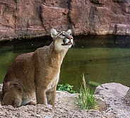 Mountain Lion by a Pond